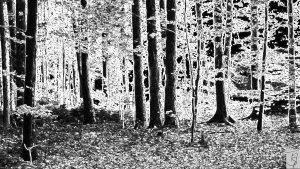 Foto, Wald, schwarz-weiß